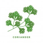 coriander herb, chinese parsley, food vector illustration, isolated logo